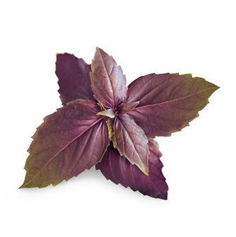 Basilico viola ricarica Lingot per orto Véritable