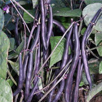 Graines de haricot Purple Queen